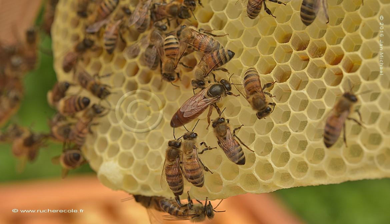 la reine et abeilles
