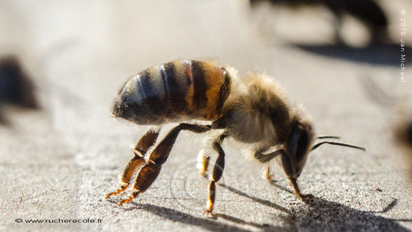 abeille nasanov