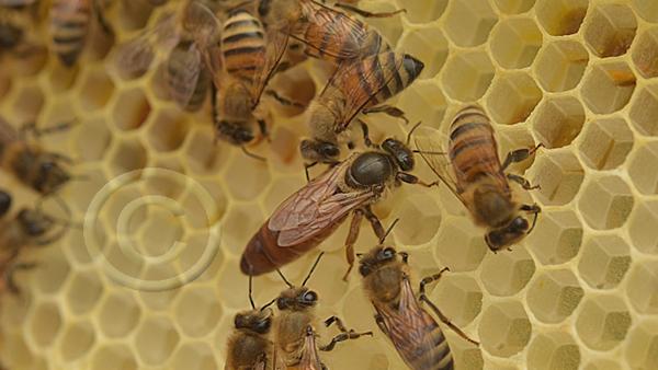reine d'abeilles