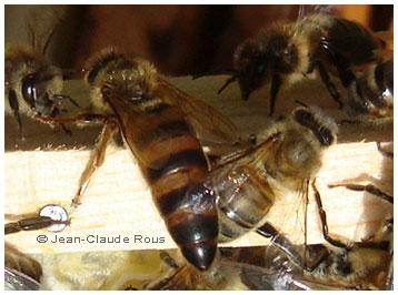 Reine d'abeille par Jean-Claude_Rous