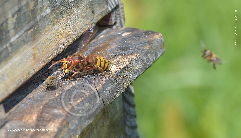frelon et abeille