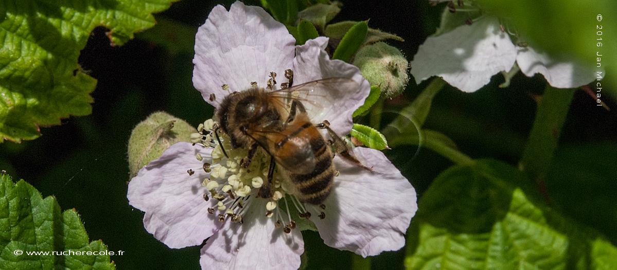 Mûre sauvage plante mellifère