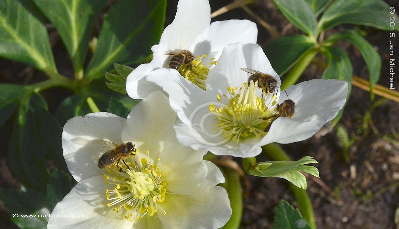 Helleborus niger - fleur mellifère