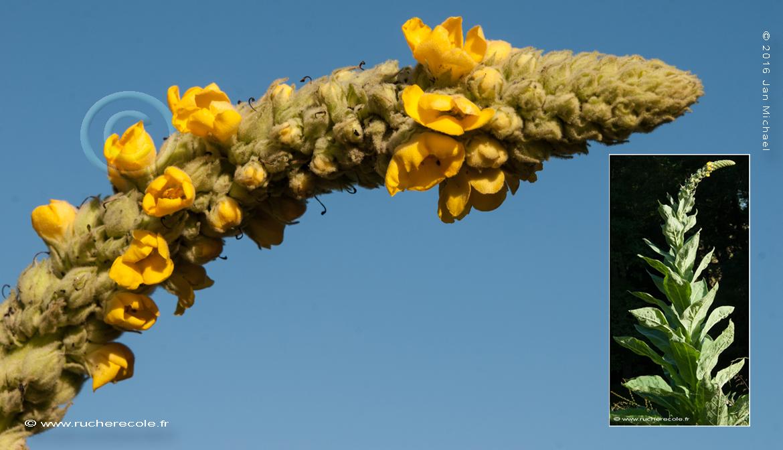 Molène-thapsus plante mellifére