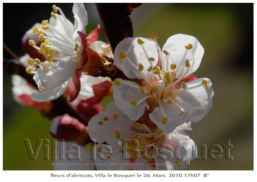 Abricotier - arbre mellifére