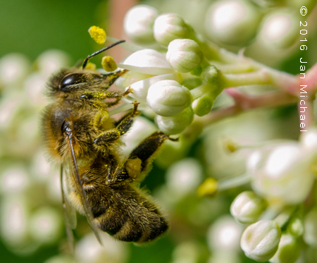 Euodia hupehensis ( arbre à miel)