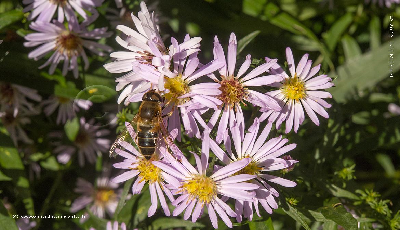 aster - plante mellifère