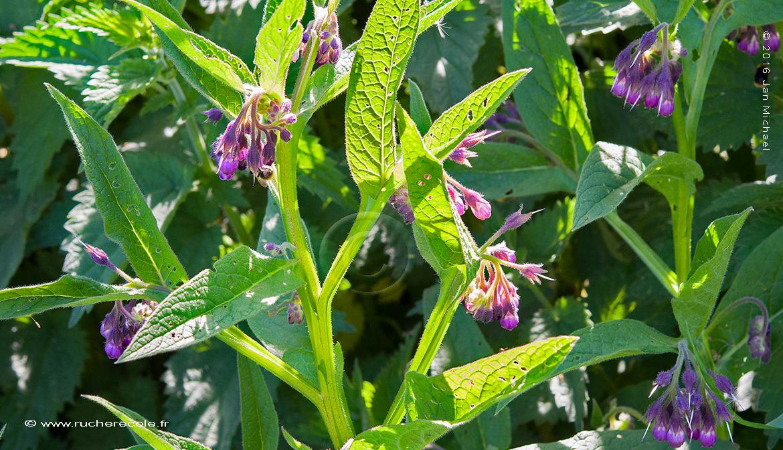 Consoude plante mellifère