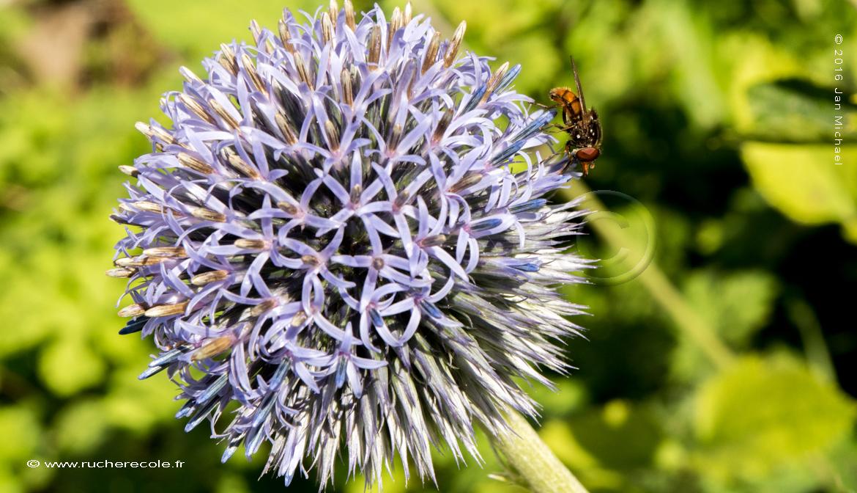 Echinops - fleur mellifère