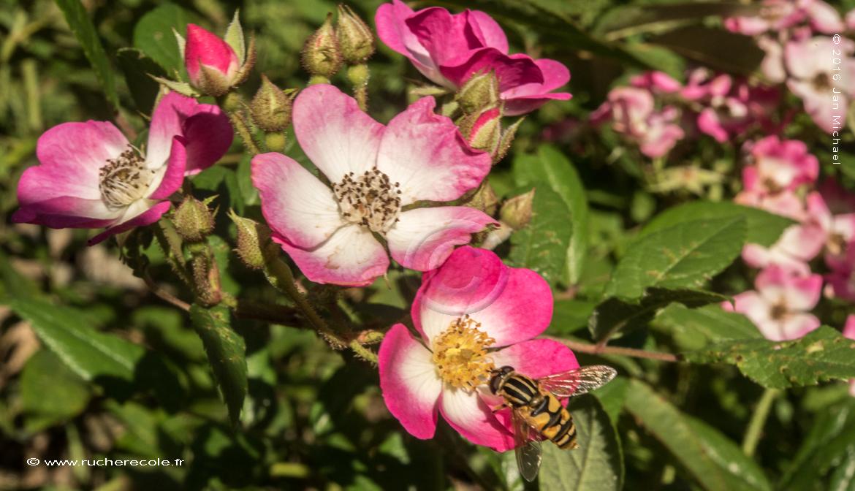 rosier - plante méllifere