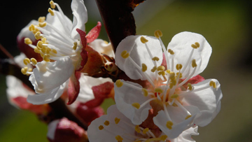 fleur ABRICOTIER