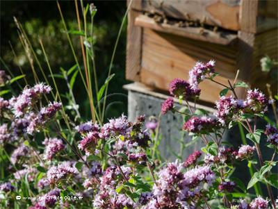 dost origan sauvage ruche