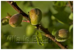 jeune fruits d'abricots