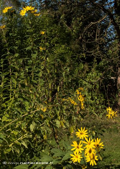 Topinambour - plante mellifére