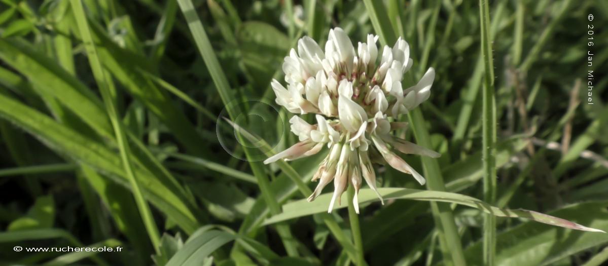 Trèffle blanc plante mellifère