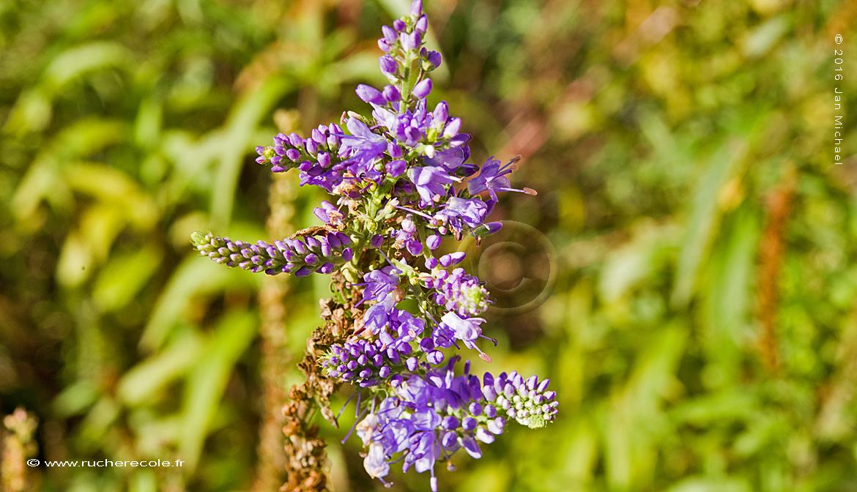 Véronique - plante mellifère