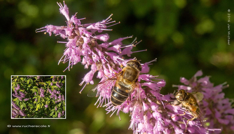 Vitex agnus-castus - plante mellifère