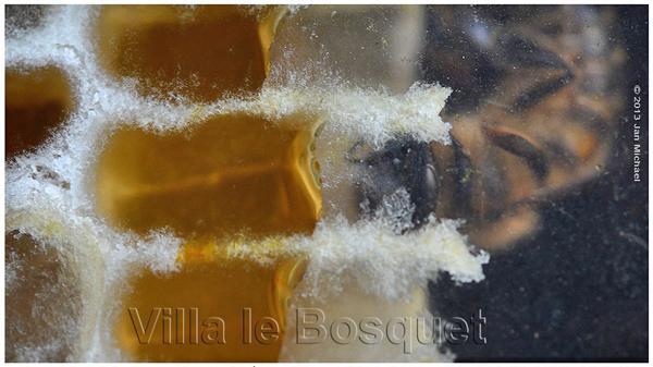 celulle de miel