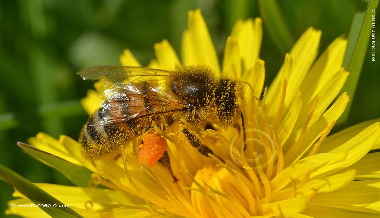 pollen buttineuse abeille