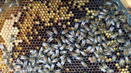 pollen et abeilles