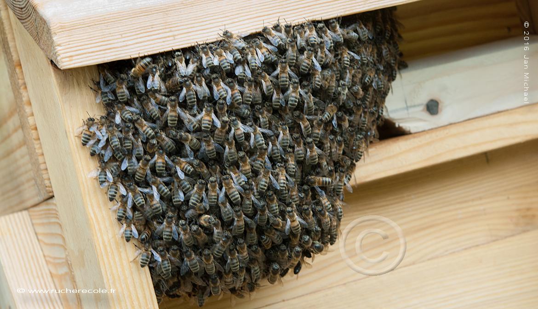 barbe d'abeilles ruche Warré
