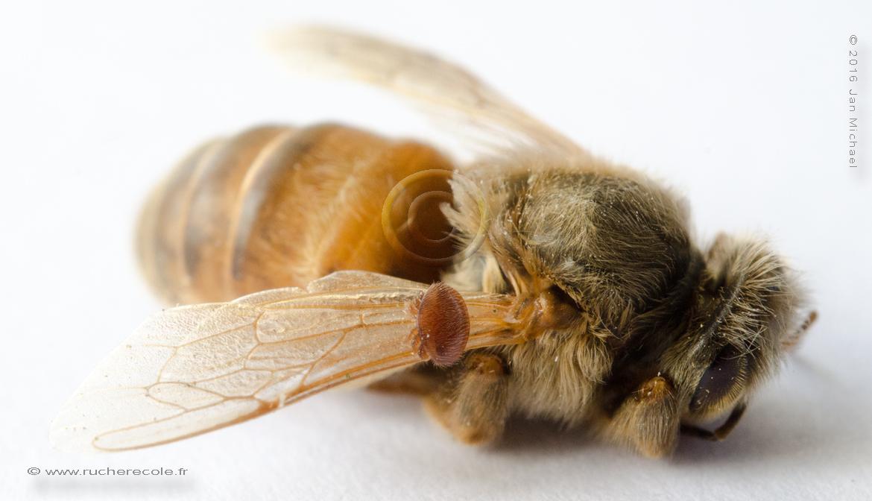 abeille et varroa
