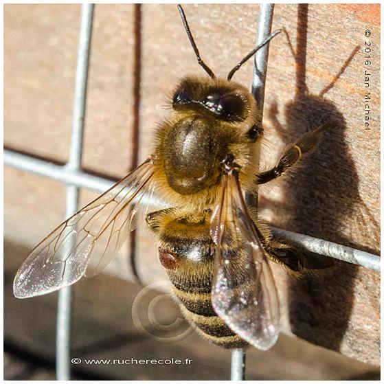 varroa et abeille