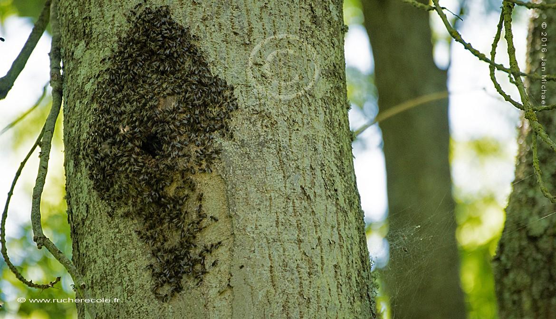Les abeilles sauvages en Normandie