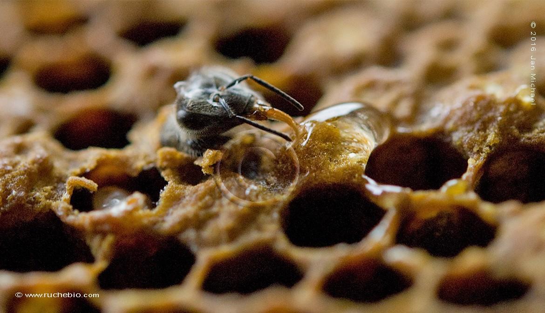 Naissance d'une abeille sur une ruche Kényane