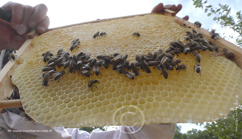 "Rayon de miel dans notre ruche ""Mellifera"""