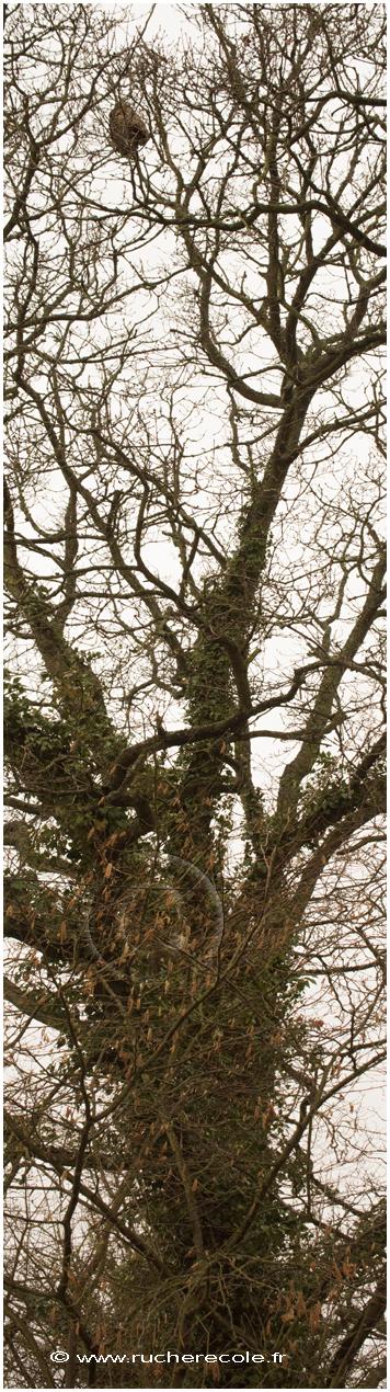 nid frélon asiatique