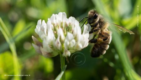 treffle blanc -abeille
