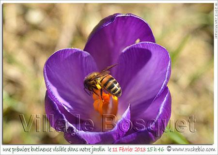 crocus et butineuse d'abeille