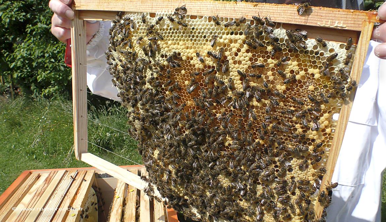 cadre Dadant - apiculture naturelle