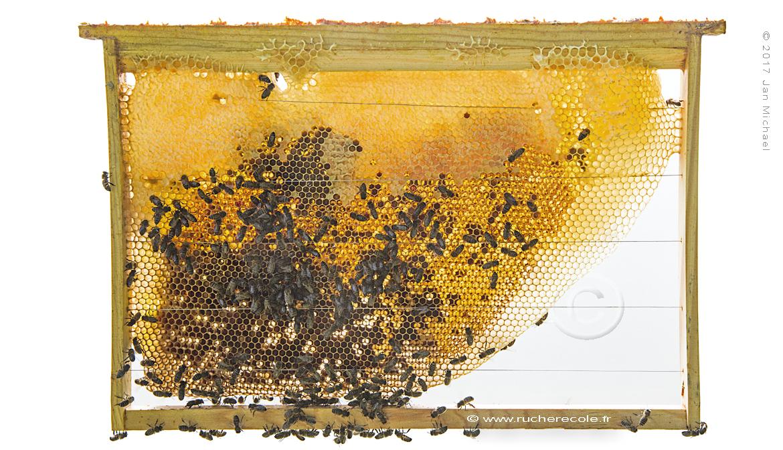 rayon naturel -ruche Dadant