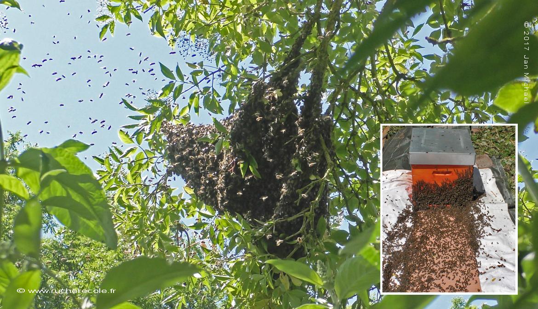 enruchement naturel - ruche Voirnot