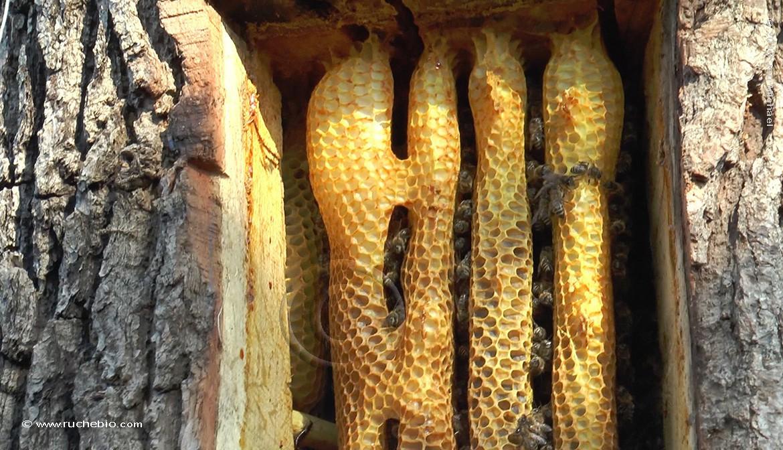 rayon ruche tronc