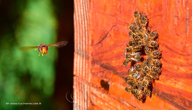 Au trou de vol rond - frélon asiatique et abeilles - rucher école Villa le Bosquet