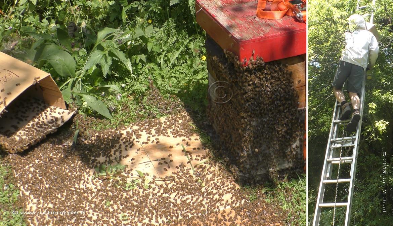 Enruchement dans une ruche Warré avec un essaim naturelle