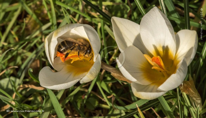 abeille butineuse dans une fleur de crocus