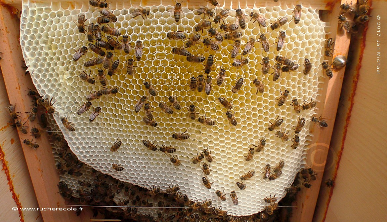 "jeun rayon de miel en grande cadre dans notre ruche horizontale ""Mellifera"""