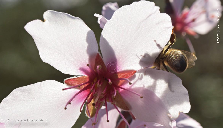 Abeille sur une fleur d'amandier...